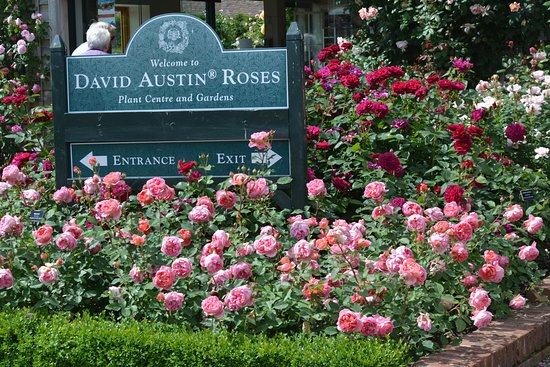 hotels neat to david austin roses